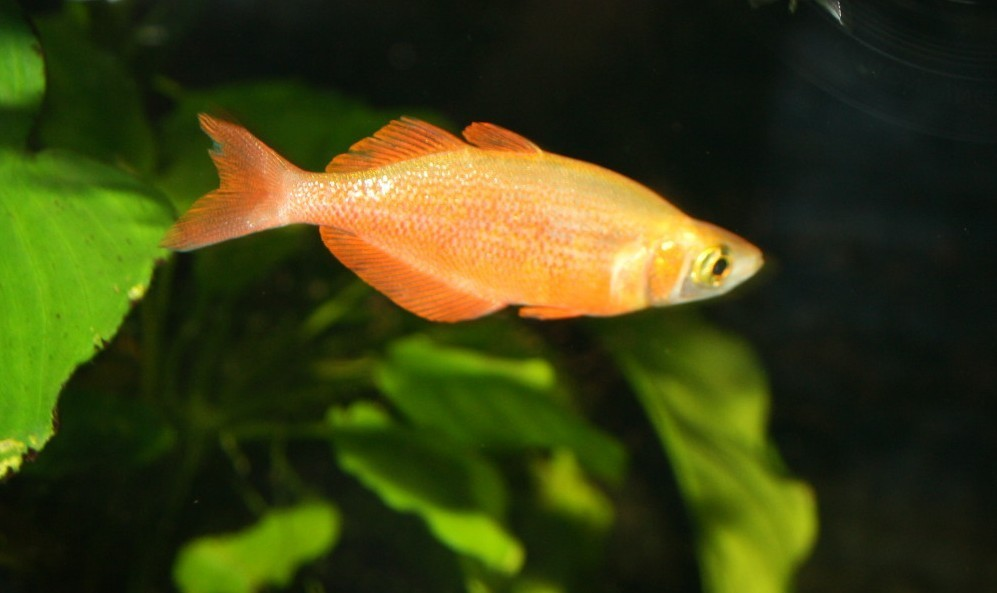 Lachsroter Regenbogenfisch (Glossolepis incisus)
