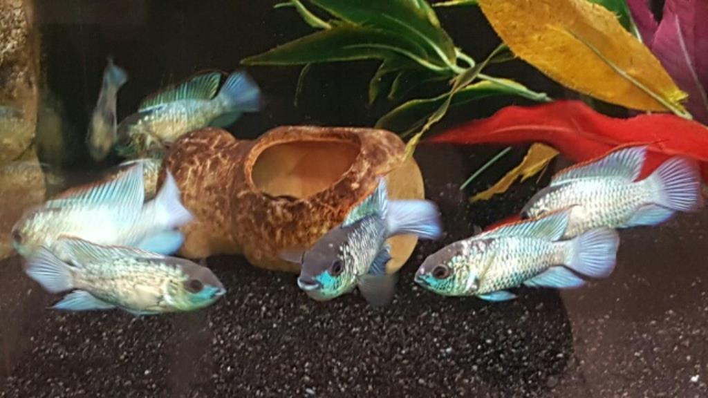 Blaupunktbuntbarsch neonblau, Nannacara (Aequidens) pulcher spec. blue