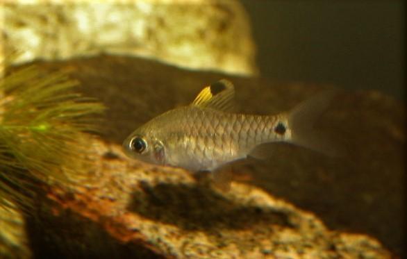 Indische Hochflossenbarbe (Oreichthys crenuchoides)