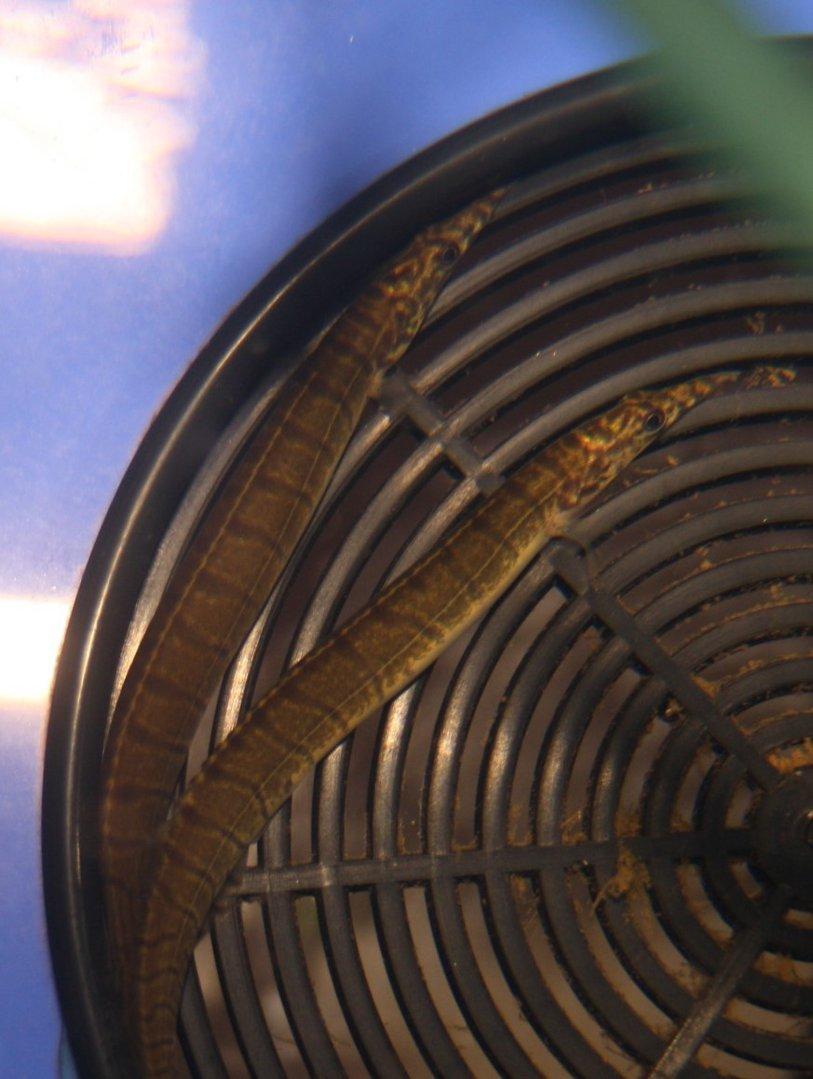 Grüner Indischer Stachelaal (Macrognathus pancalus)