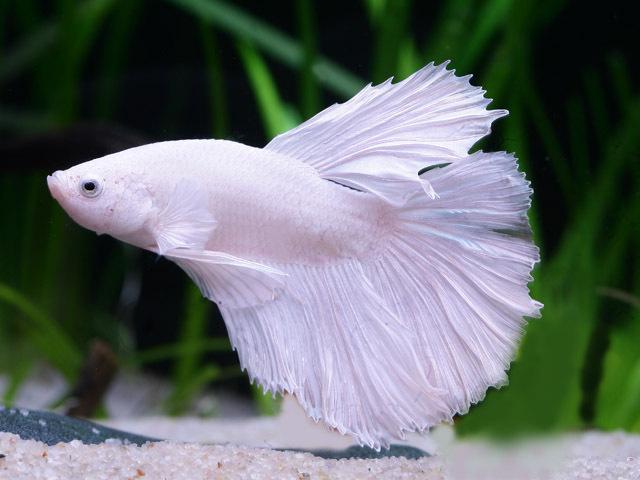 Siamesischer Kampffisch Halbmond (Betta splendens Halfmoon) weiß