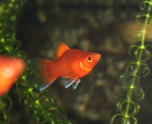 Korallenplaty (Xiphophorus maculatus)