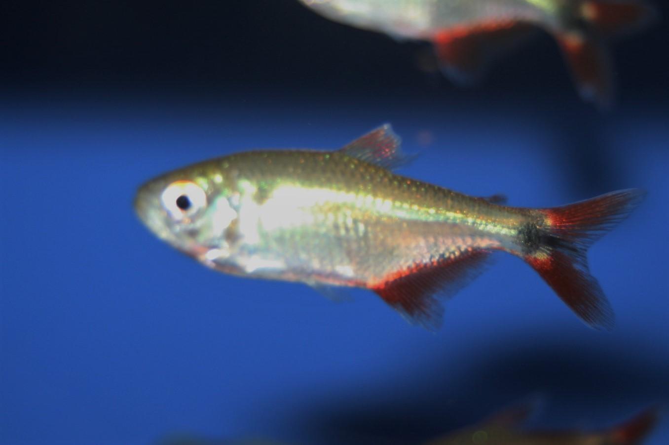 Rautenfleck-Salmler (Hyphessobrycon anisitsi)