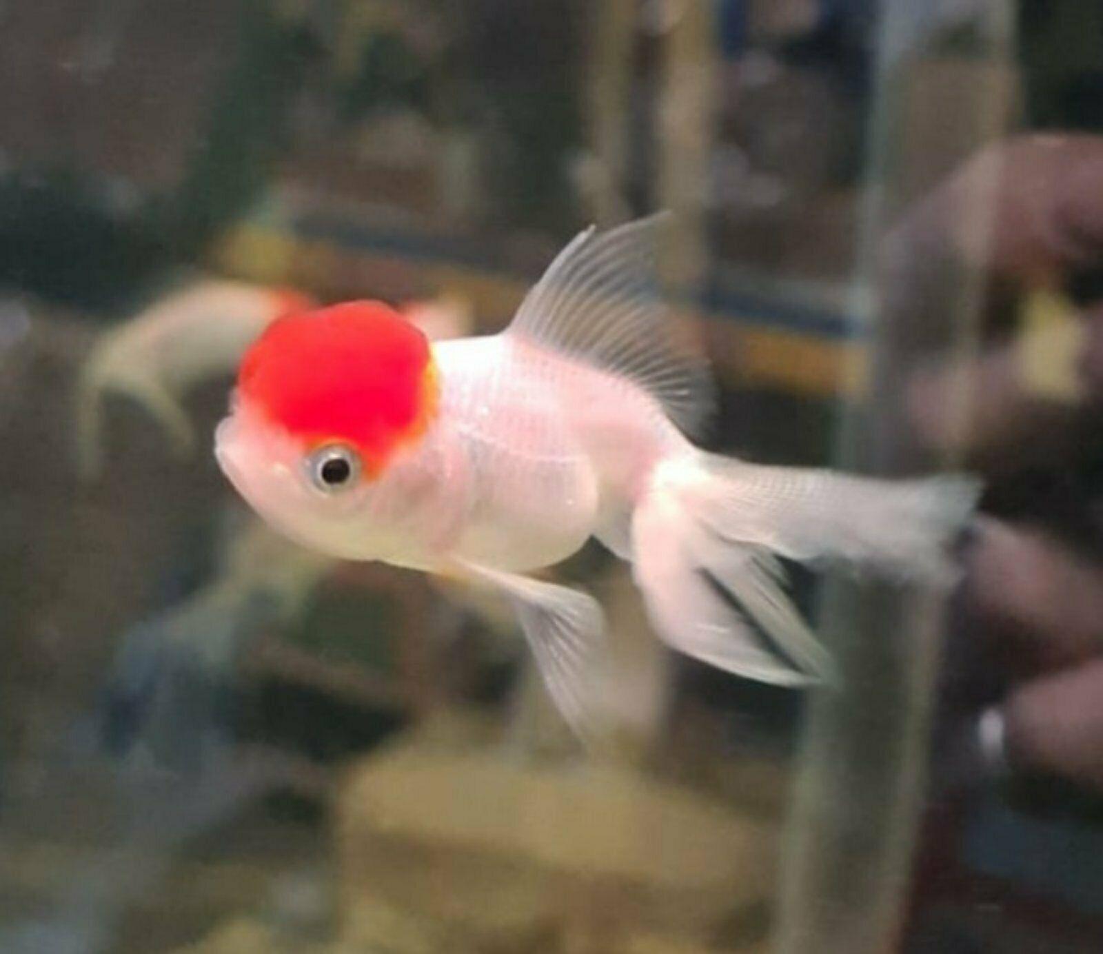 Schleierschwanz Goldfisch Oranda rot/weiß 4-7cm