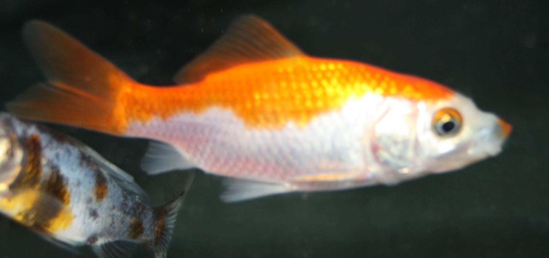 Goldfisch Sarasan (Carassius auratus) klein