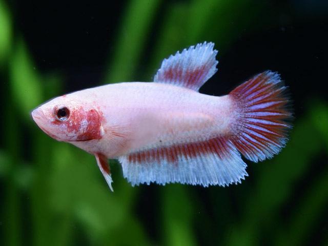 Siamesischer Kampffisch Weibchen (Betta splendens)