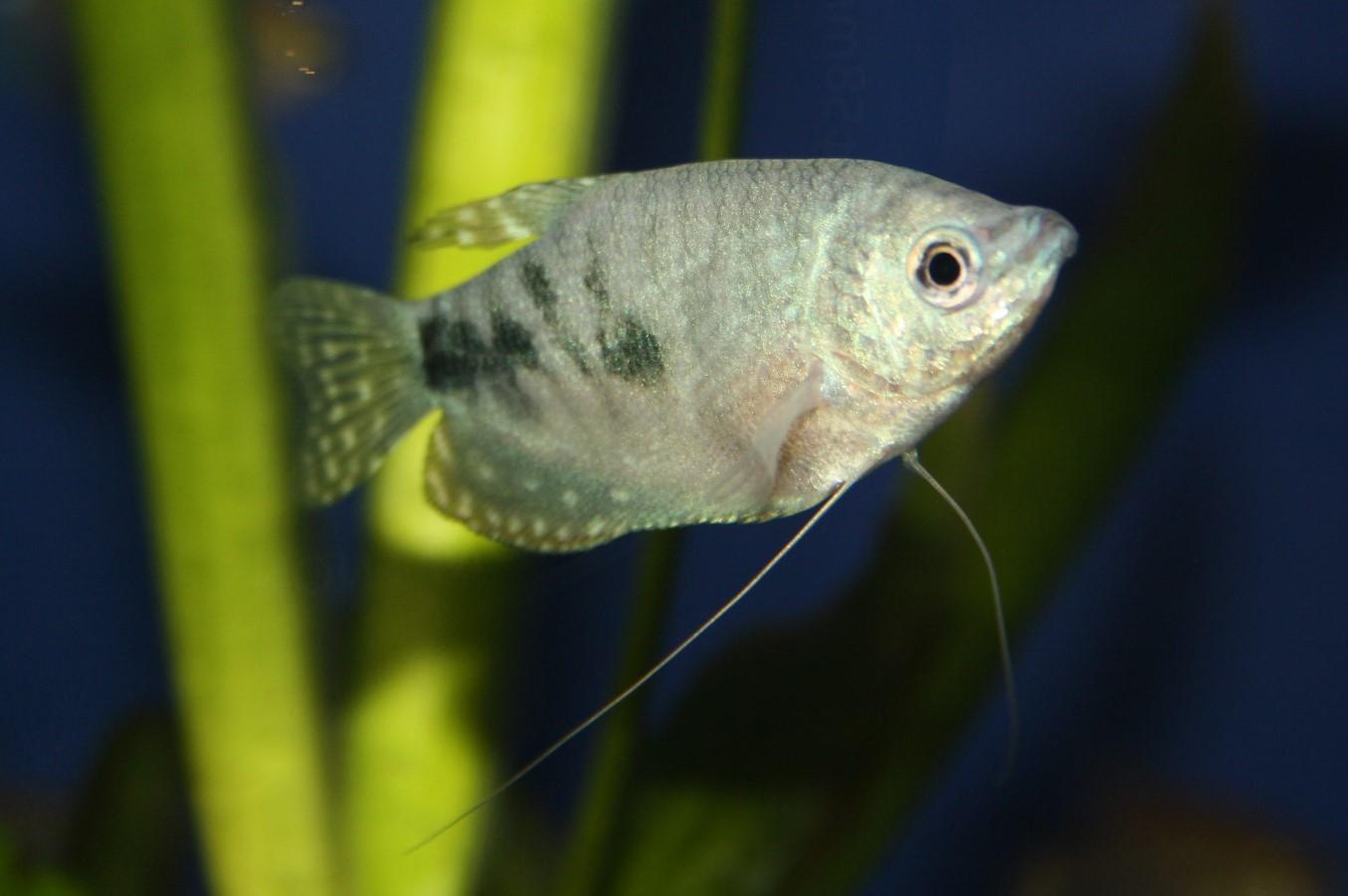 "Blauer Fadenfisch (Trichopodus trichopterus 'Blau"")"