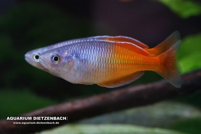 Boesemans Regenbogenfisch (Melanotaenia boesemani)