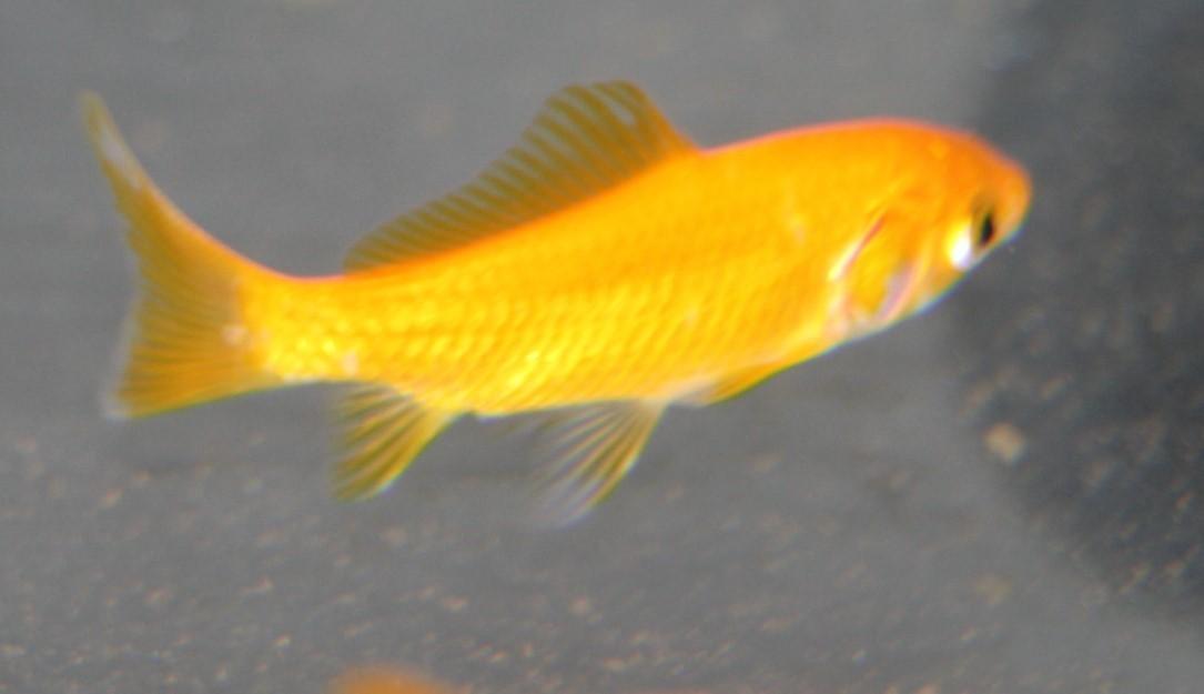 """Goldfisch Gelb (Carassius auratus """"Yellow"""") klein"""