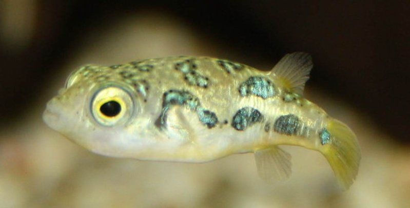 Zwergkugelfisch  (Carinotetraodon travancoricus)