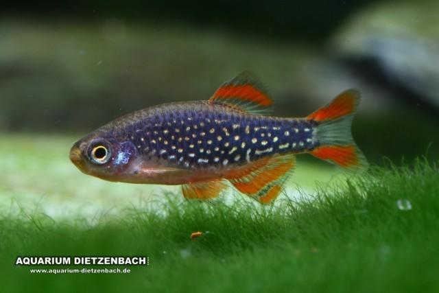 Perlhuhn-Bärbling (Celestichthys margaritatus)