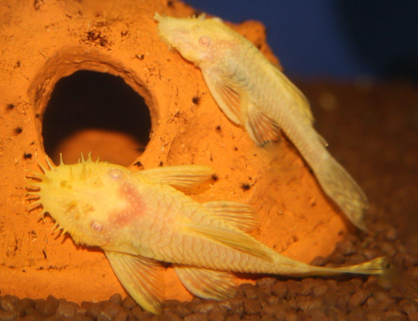 Albino Antennenwels