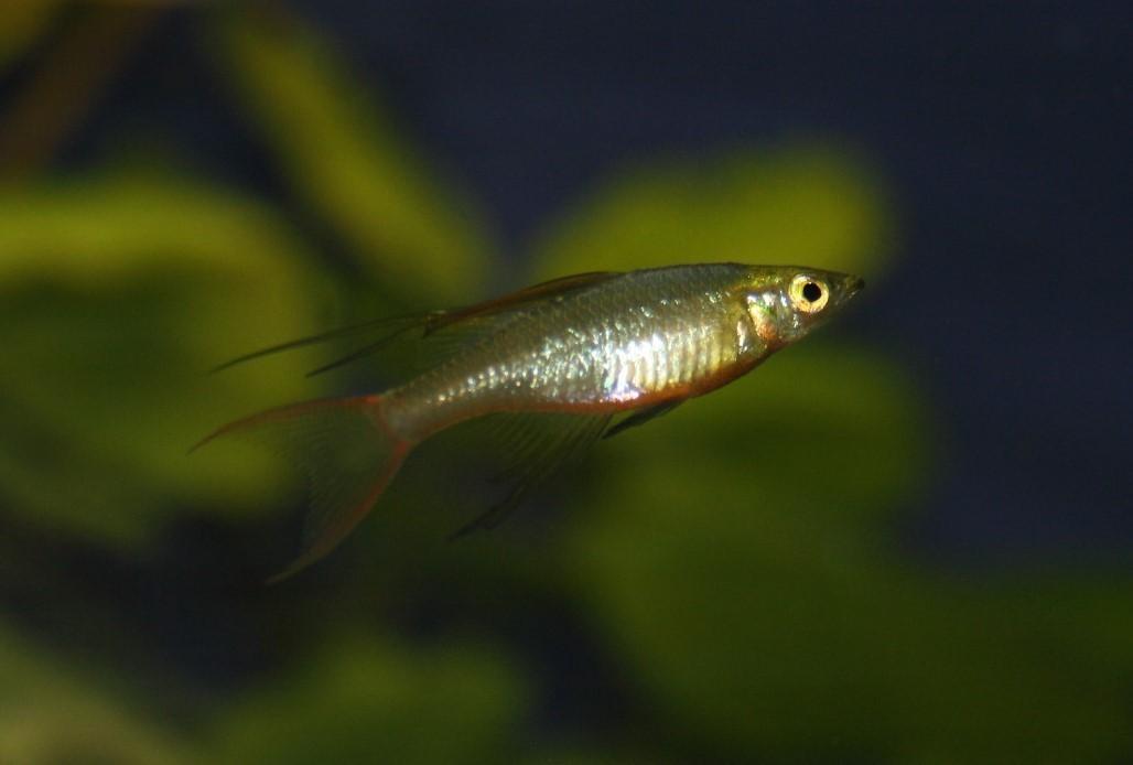 Filigran-Regenbogenfisch (Iriatherina werneri)