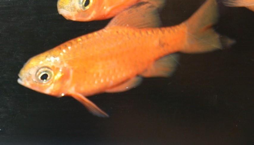 Prachtbarbe rot (Pethia conchonius)