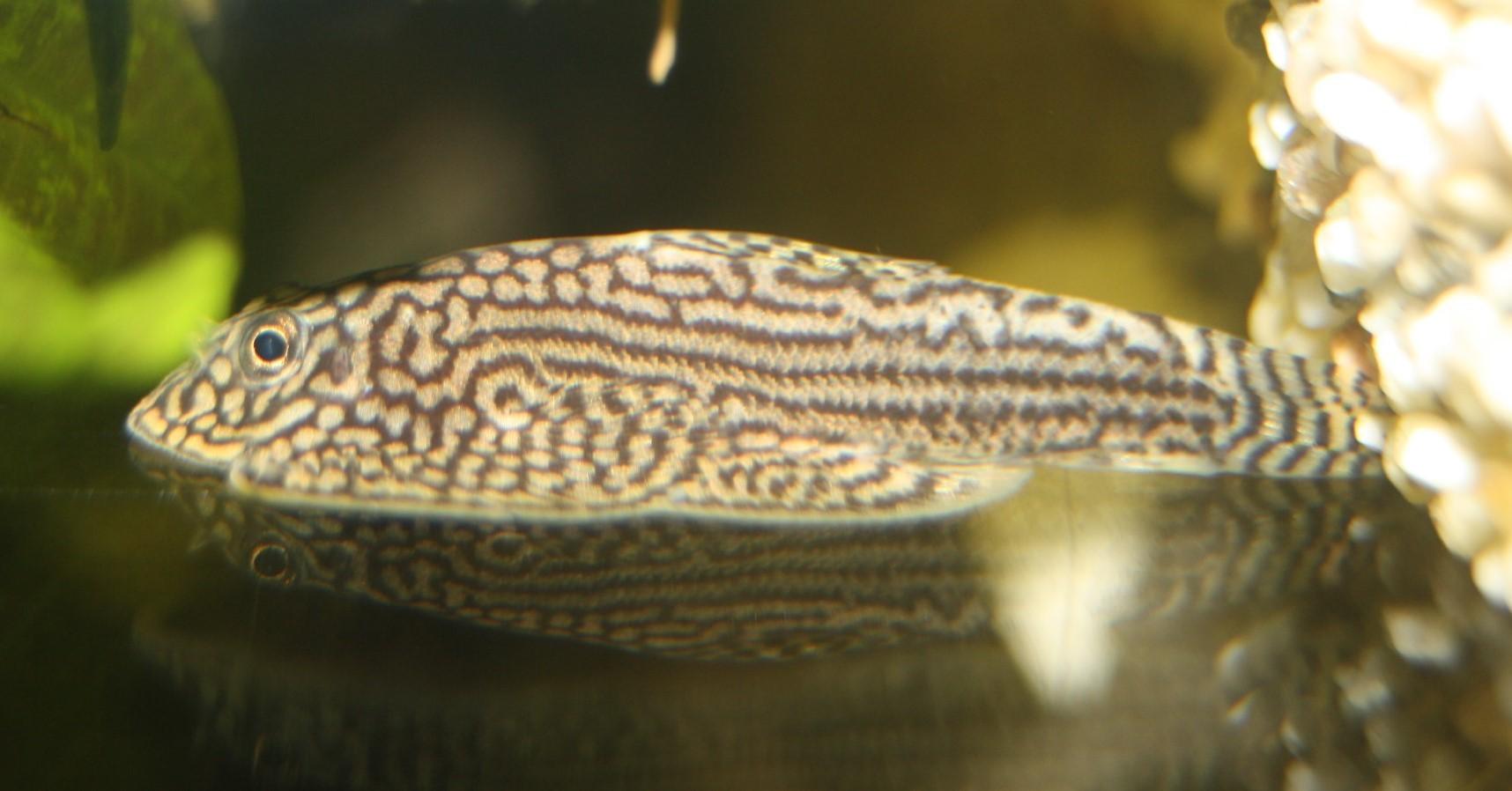 Pracht-Flossensauger (Sewellia lineolata)
