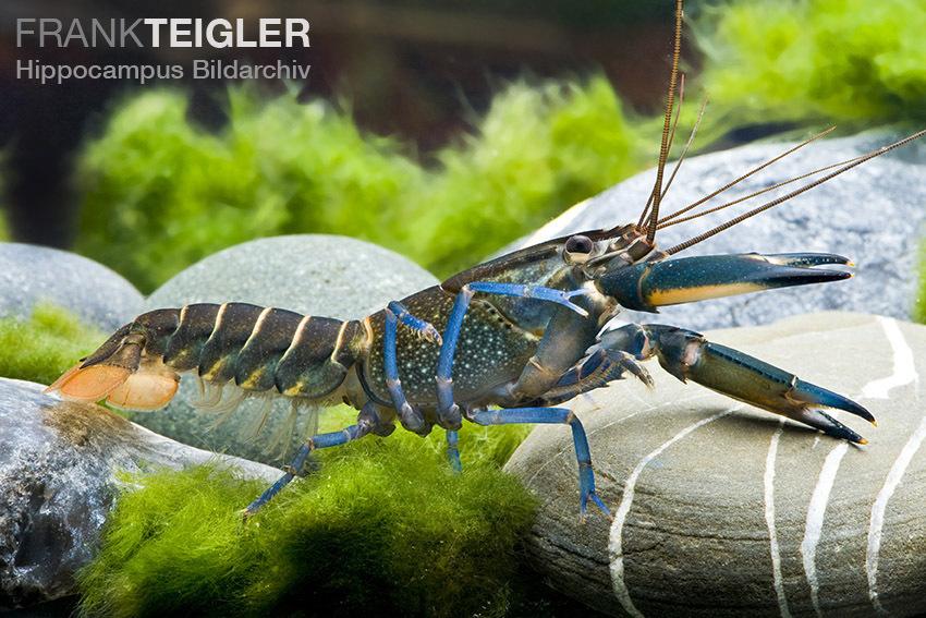 Blauer Lobster (Cherax quatricarinatus)
