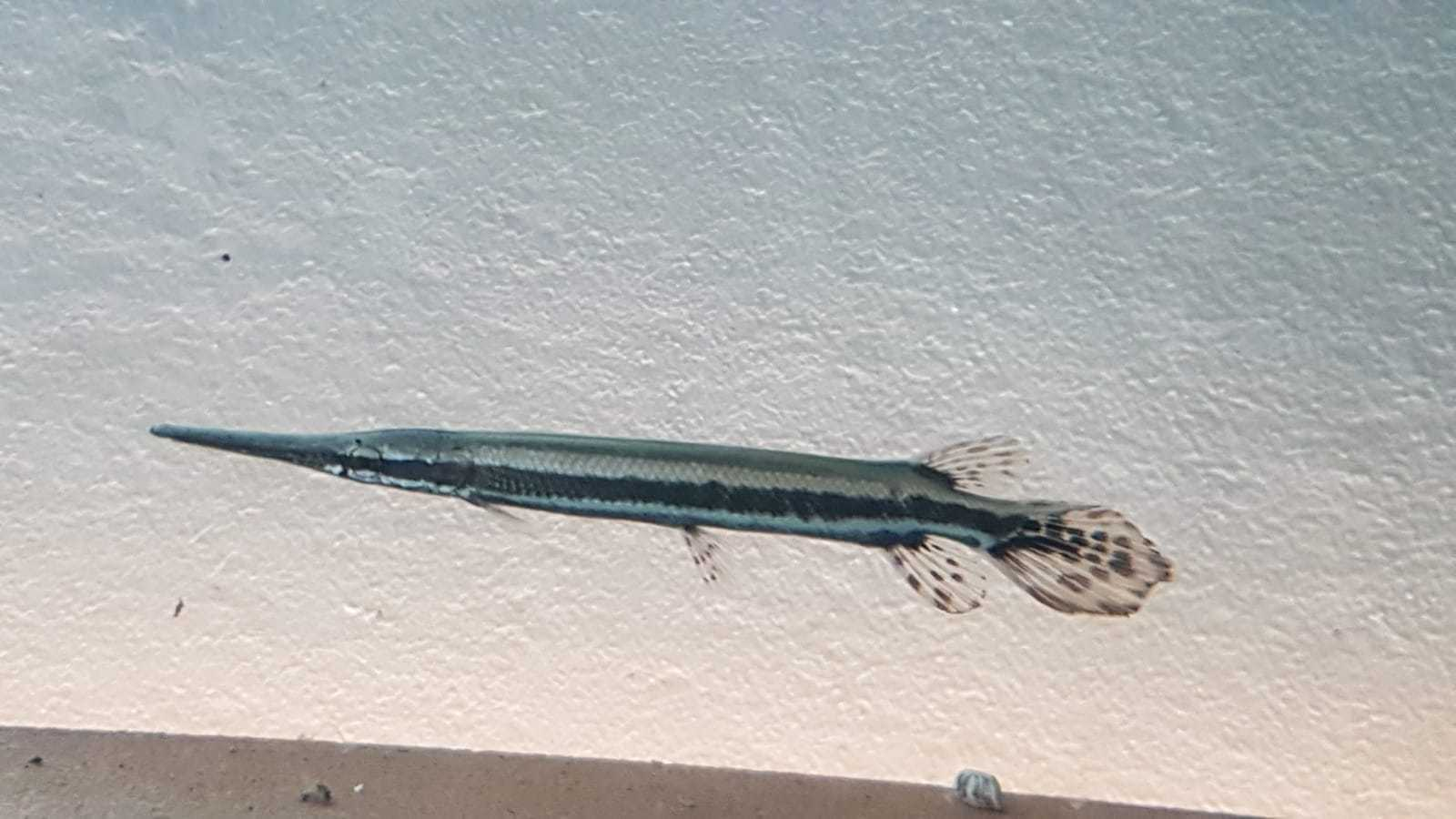 Gepunkteter Knochenhecht (Lepisosteus oculatus)