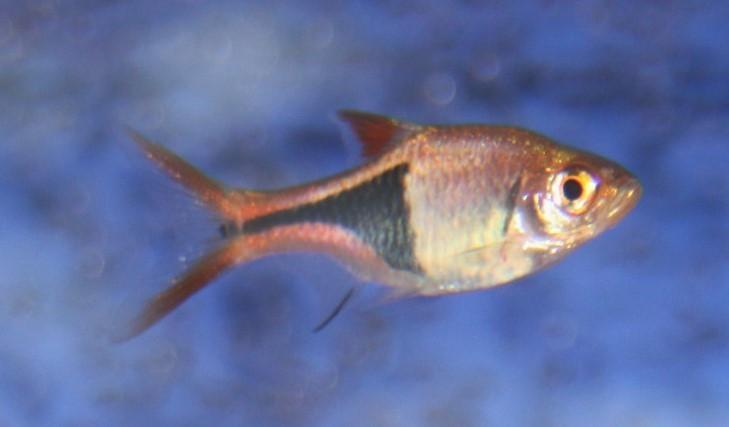Keilfleckbärbling (Trigonostigma heteromorpha)