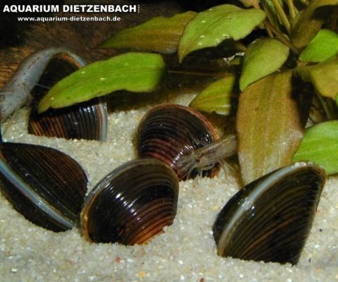Rillenmuschel (Corbicula spec.)