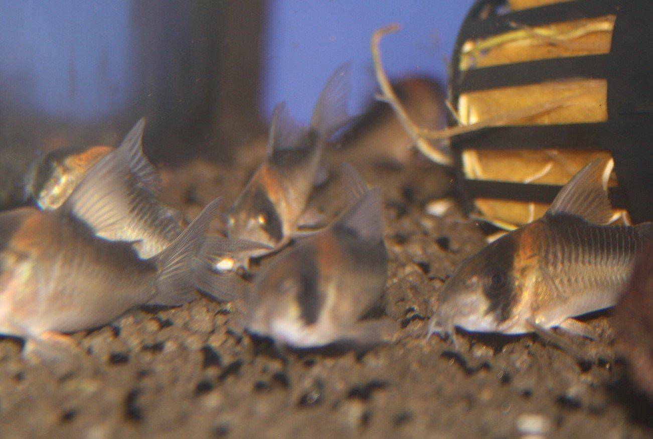 Duplikat-Panzerwels (Corydoras duplicareus)