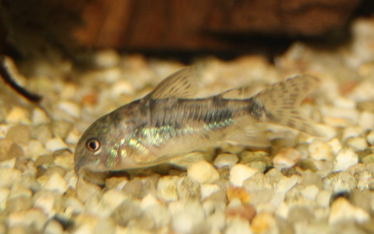 Marmor-Panzerwels (Corydoras paleatus)