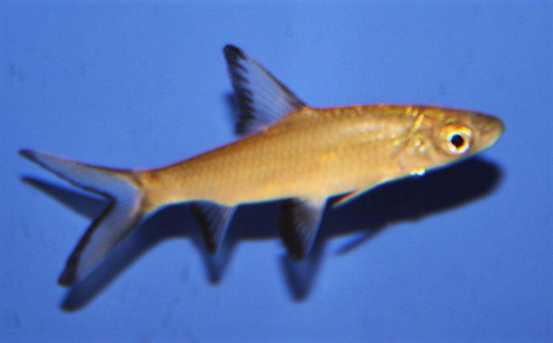 Haibarbe (Balantiocheilos melanopterus)