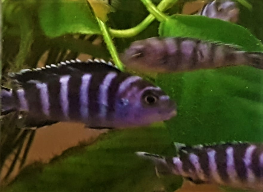 Pseudotropheus demasoni (Pseudotropheus demasoni)