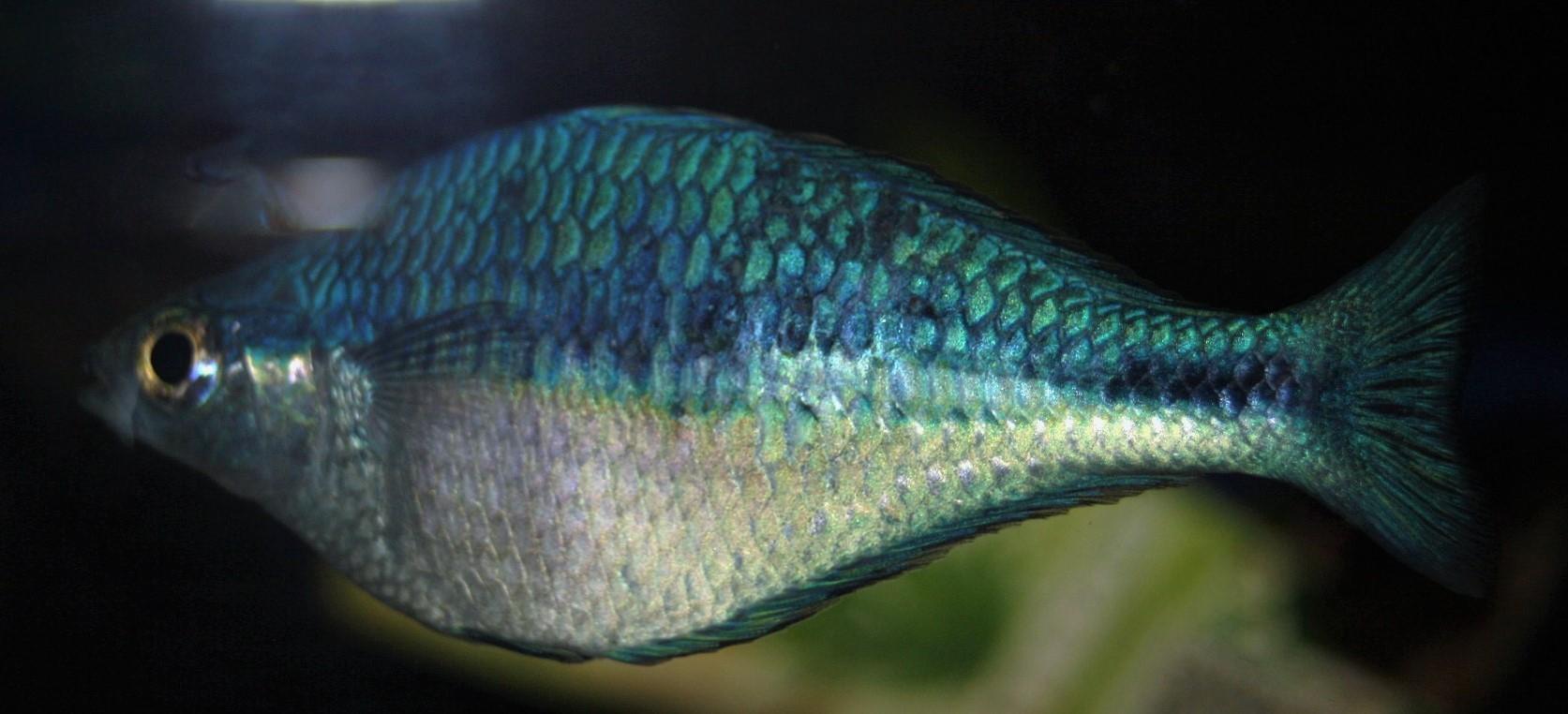 Türkis-Regenbogenfisch (Melanotaenia lacustris)