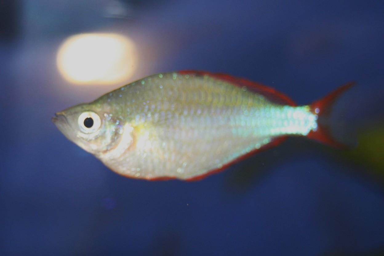 Neon-Regenbogenfisch (Melanotaenia praecox)