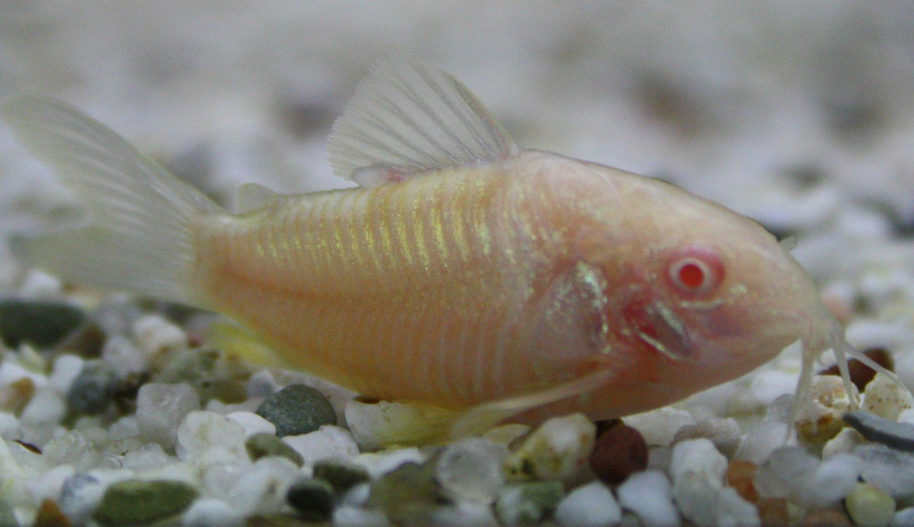 Albino Panzerwels (Corydoras paleatus)