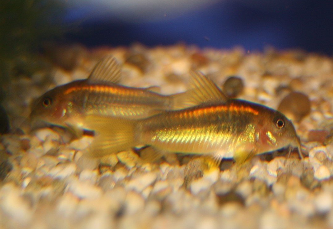"""Goldstreifen Panzerwels(Corydoras aeneus spec. """"gold stripe"""")"""