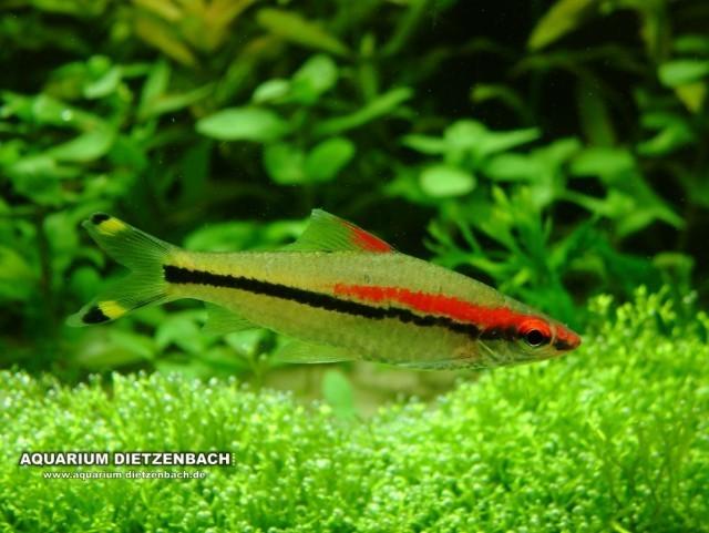 Rotstreifen-Torpedofisch (Sahyadria denisonii)
