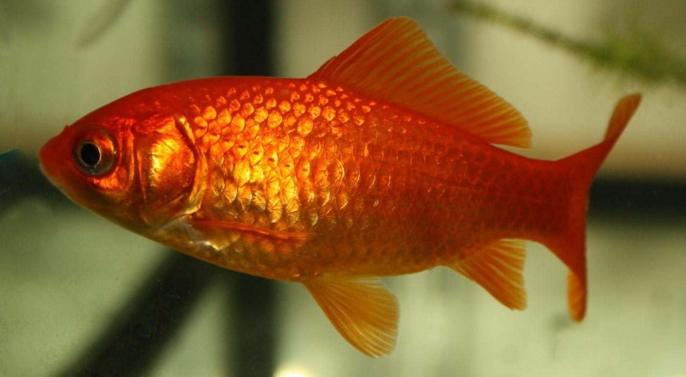 """Goldfisch Rot (Carassius auratus """"Red"""") klein"""