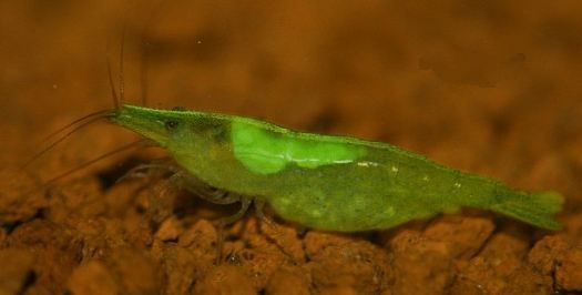 grüne Zwerggarnele