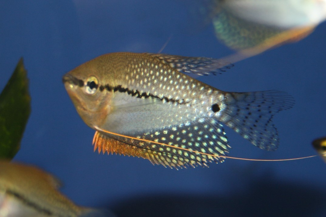 Mosaik-Fadenfisch (Trichopodus leerii)
