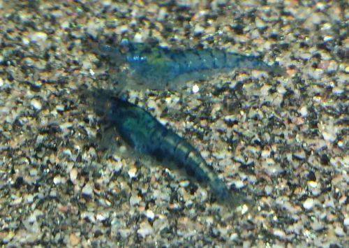 Blue velvet Zwerggarnele